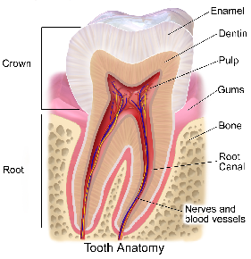 Components of a tooth